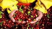 Giá cà phê trong nước tăng 500 nghìn đồng/tấn