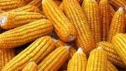 Thị trường NL TĂCN thế giới ngày 23/10: Gía ngô hồi phục từ mức thấp nhất 11 ngày