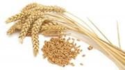 Giá xuất khẩu lúa mì Nga giảm