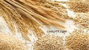 Giá lúa mì Nga tăng