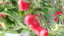 Người trồng táo Mỹ lo bị Trung Quốc trả đũa