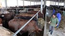 Xu hướng nhập khẩu thịt bò gia tăng, tiềm ẩn nguy cơ về dịch bệnh