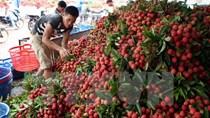 Nhiều giải pháp xuất khẩu quả vải qua địa bàn tỉnh Lạng Sơn