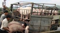 Xuất khẩu lợn sang Trung Quốc: Thị trường tiềm năng nhưng nhiều rủi ro
