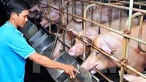 Chăn nuôi lợn lỗ nặng trong khi giá thịt gà ta duy trì ở mức cao