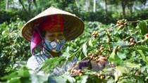 Sơn La công bố Chỉ dẫn địa lý cà phê và Ngày hội cà phê Mai Sơn