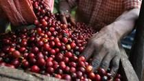 Giá cà phê, hồ tiêu giảm trong tháng 5 vì lo ngại nguồn cung