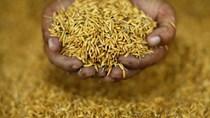 [Phần 1] Cuộc cách mạng lúa gạo nhằm chống biến đổi khí hậu đang diễn ra ở Châu Á