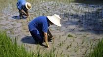[Phần 2] Lúa chống ngập, kháng kiềm - tương lai của ngành lúa gạo thế giới