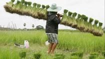 Cạnh tranh gia tăng đang gây ra cuộc chiến giá trên thị trường gạo châu Á