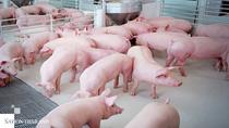 Giá thịt lợn Thái Lan cao nhất 10 năm
