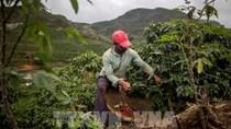 Xuất khẩu cà phê của Brazil tăng cao kỷ lục trong 10 tháng của năm 2020