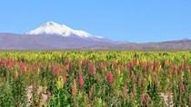 Peru trở thành quốc gia sản xuất hạt diêm mạch lớn nhất thế giới