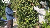 Nhiều nhà vườn trồng tiêu thua lỗ nặng vì mất mùa, mất giá
