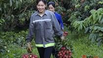 Bắc Giang tiêu thụ vải thiều mùa dịch: Xe chuyên dụng đón thương nhân, đưa vải lên sàn online