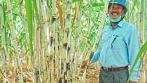 Đường nhập từ Thái Lan giảm 75%, nông dân Việt Nam mở rộng diện tích trồng mía