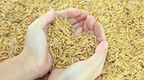 Lúa gạo Châu Á: Giá tại Việt Nam cao nhất 8 năm