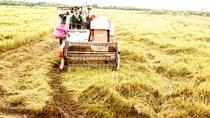 TT lúa gạo châu Á trầm lắng do vắng nhu cầu