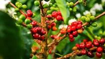 Thị trường cà phê tháng 8/2019: Giá cà phê chạm đáy 13 năm