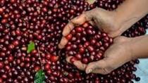 Báo cáo thị trường cà phê quý III: 'Cơn ác mộng' của giá cà phê