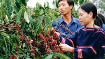 Báo cáo của USDA về thị trường cà phê Việt Nam