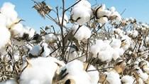 Báo cáo tháng 12 của USDA về cung cầu bông thế giới