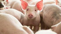 Sản lượng thịt lợn Trung Quốc giảm 19,1% trong 6 tháng
