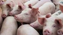 """Giá thịt lợn tại Trung Quốc có thể lập """"đỉnh"""" vào tháng 9 tới"""