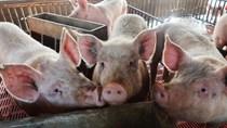 Ngành chăn nuôi châu Á đứng trước bước ngoặt lớn vì dịch tả heo châu Phi