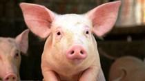Ngành thịt lợn Trung Quốc