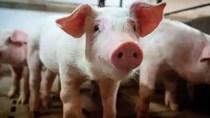 Bloomberg: Công ty hàng không này lãi lớn nhờ… chở lợn cho Trung Quốc