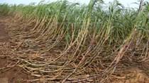 Sản lượng đường Ấn Độ suy giảm vì những con bò đói