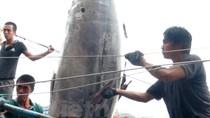 Cận cảnh cá ngừ quý hiếm 307kg ngư dân Khánh Hòa câu được