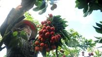 Thương lái Trung Quốc trở lại thu mua vải thiều