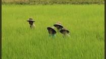 Thái Lan để mắt đến lĩnh vực sản xuất lúa gạo của Myanmar