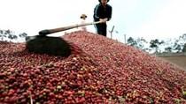 Xuất khẩu cà phê chậm, dân trữ chờ giá lên