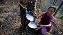Sản lượng cao su Ấn Độ dự báo thấp nhất 20 năm