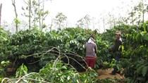 Cà phê Việt Nam đối mặt vụ mất mùa thứ hai liên tiếp, xuất khẩu giảm mạnh