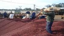 Giá cà phê arabica lên cao nhất 3 tháng