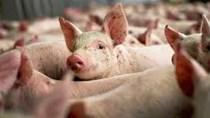Thịt lợn Mỹ bị cấm vào Trung Quốc do nhiễm chất tạo nạc