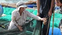 Lý Sơn: Tôm hùm rớt giá, người nuôi lao đao