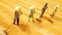 Tổng hợp thị trường lúa gạo quý III và dự báo