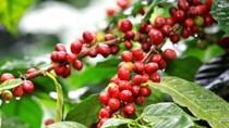 Xuất khẩu cà phê Việt Nam có thể giảm 25% trong năm 2016