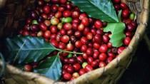 Thị trường cà phê tuần 15 (10/4 – 15/4/2017): Giá hầu hết giảm