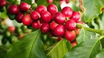 Giá cà phê ngày 12/7 đảo chiều lao dốc