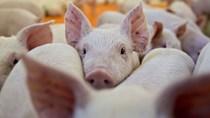 Hỗ trợ chủ vật nuôi có lợn mắc bệnh, bệnh dịch buộc tiêu hủy