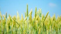 Lúa mì nhập khẩu từ Mỹ tăng cả về lượng và trị giá trong 3 tháng đầu năm 2020