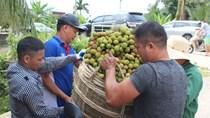TT nông sản ngày 11/5: Quảng Ninh tất bật thu hoạch vải sớm