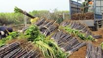 Kon Tum: Triển khai các giải pháp phát triển ngành mía đường trong tình hình mới