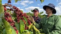 Cà phê Robusta Việt Nam không theo đuổi mục tiêu số 1 TG về sản lượng, năng suất